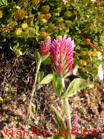 trifolium.incarnatum ss molineriiPG.jpg