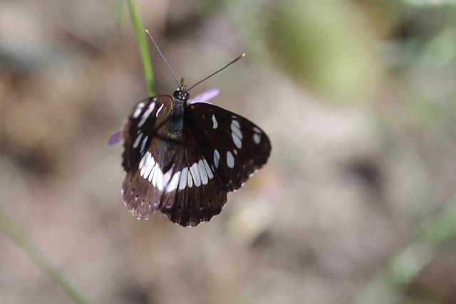 Limenitis reducta Staudinger, 1901. Les Hautes-Courennes (550 m), Saint-Martin-de-Castillon (Vaucluse), 27 juin 2015. Photo : J.-M. Gayman