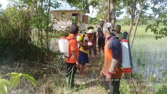 Antisipasi Serangan OPT, BPTPH Kalteng Lakukan Gerdal OPT di Kapuas Barat