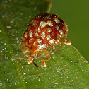 Golden spoted tortoise beetle