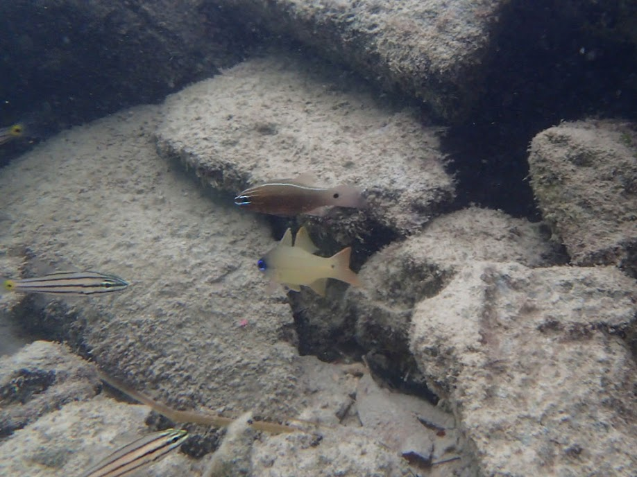 Apogon hartzfeldii (Hartzfelds Cardinalfish), Miniloc Island Resort reef, Palawan, Philippines.