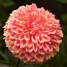 Dahlia 8917~ by Raphael RaCcoon - Flowers Single Flower
