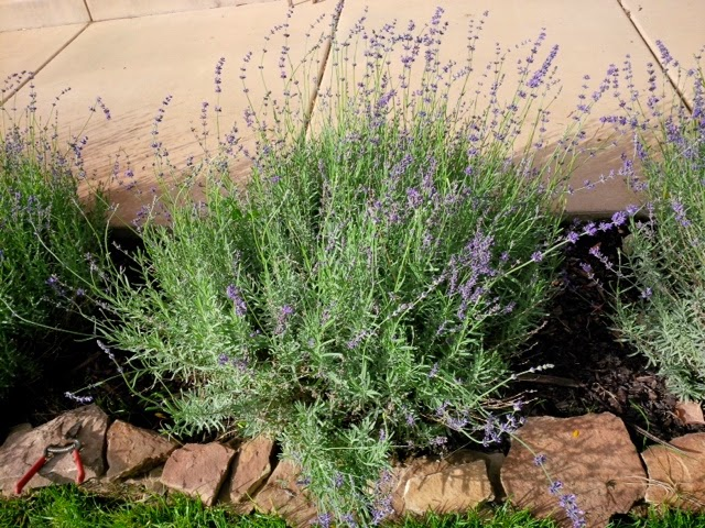 how to grow lavender from cuttings