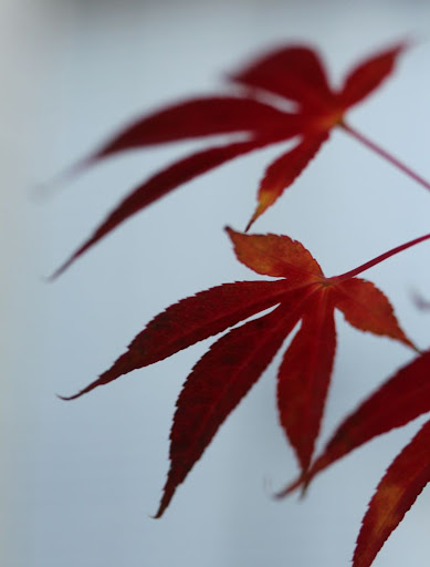 three red leaves, clawlike against a blurred gray-green background