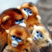 К чему снятся обезьяны?