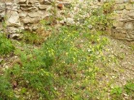 Nostrzyk żółty Melilotus officinalis