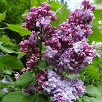 Bois de la Bergerette : lilas