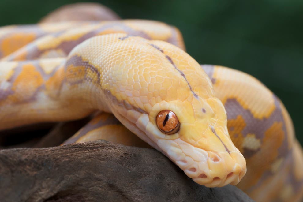 Man bitten by 5ft albino snake 'in genital area' as he sat on toilet at home