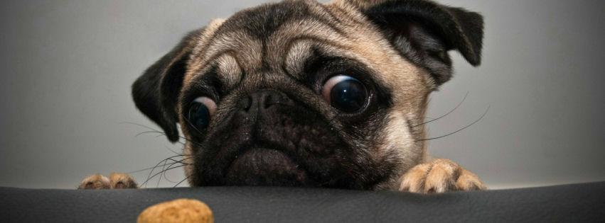 Crazy pug facebook cover