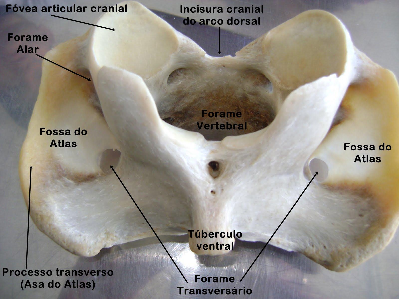 Anatomia descritiva dos animais dom sticos osteologia for Esterno e um osso irregular