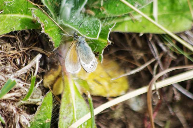 Coenonympha gardetta (DE PRUNNER, 1798). Sils-Maria, 1900 m (Grisons, CH), 10 juillet 2013. Photo : J.-M. Gayman