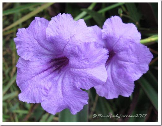10-25-Mexican-petunia