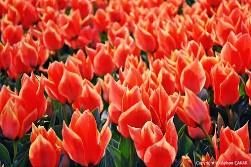 Burning with Love, Forever Souls of the Nature, Tulip Flowers Doğanın Ruhları, ilkbaharda Lale Çiçekler...