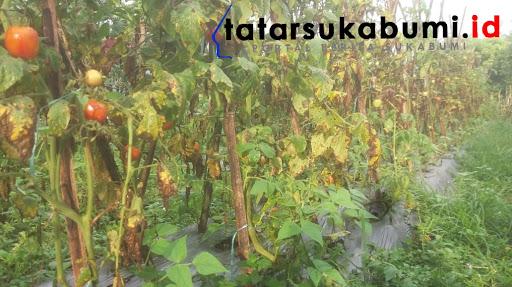Petani Sayur Kabandungan Meradang Harga Tomat Dibayar Seribu Rupiah Perkilo