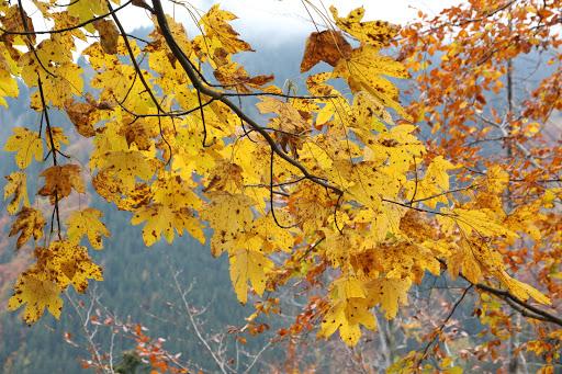 Javor lesný jesenný