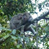 Macaques. Sukau, 14 août 2011. Photo : J.-M. Gayman