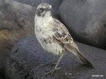 Mockingbird, Galápagos Islands  [2005]