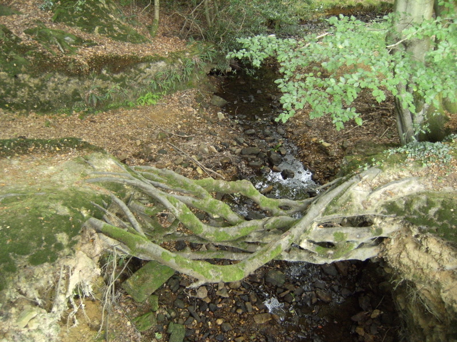 DSCF9306 Tree-root bridge