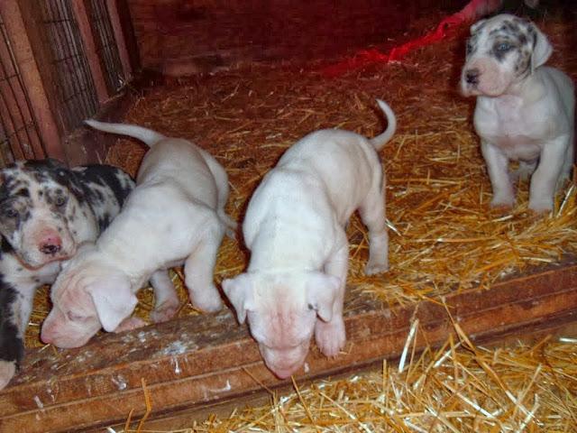 Puppies @ 5+ weeks
