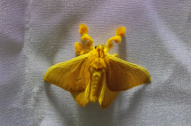 Dalceridae : Acraga coa (Schaus, 1892). Mount Totumas, 1900 m (Chiriquí, Panamá), 22 octobre 2014. Photo : J.-M. Gayman