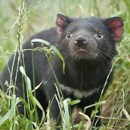 Μετα από 3000 χρόνια γεννήθηκαν διάβολοι της Τασμανίας στην ενδοχώρα της Αυστραλίας
