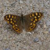Pararge aegeria LINNAEUS, 1758, mâle. Bages (Pyr. Orientales), juin 2006. Photo : J.-M. Gayman