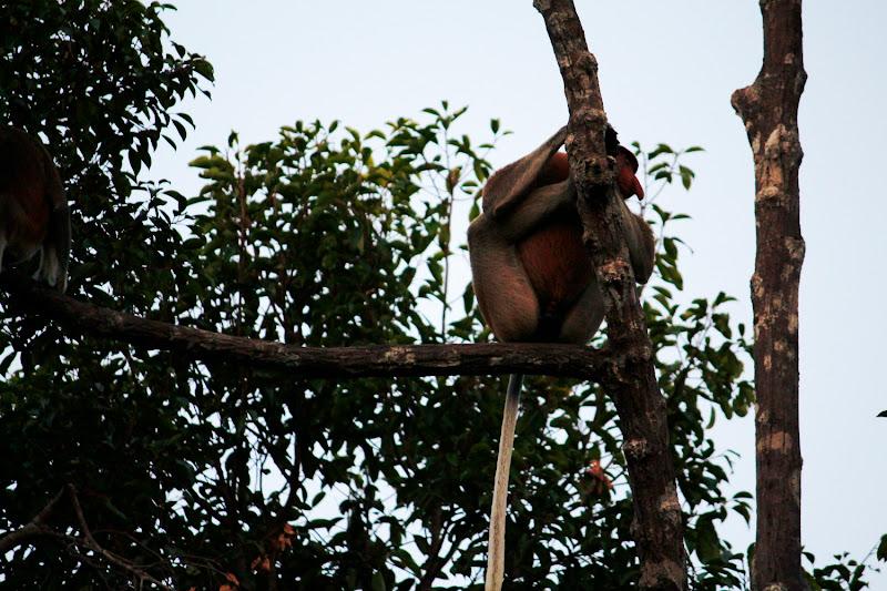 Mono narigudo macho