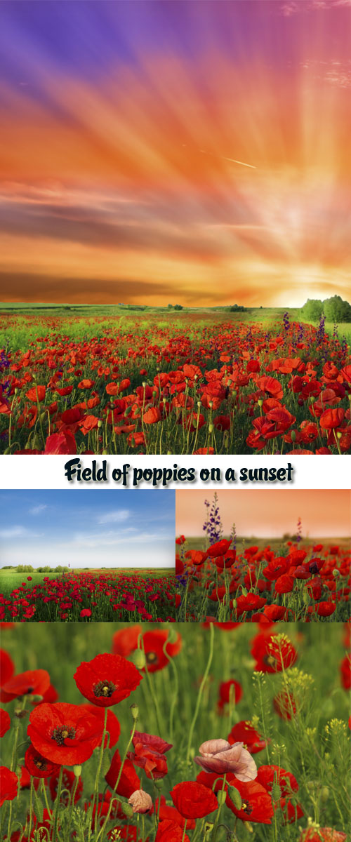 Stock Photo: Field of poppies on a sunset