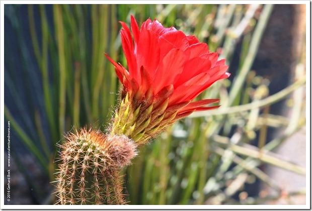 160530_echinopsis_flower_034