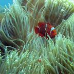 Big and small anemonefish at US Liberty wreck (Tulamben, Bali)