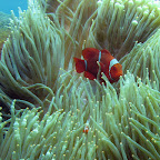 Big and small anemonefish at US Liberty wreck (Tulamben, Bali)