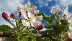 Hauswanderung durch die blühenden Apfelplantagen Schulerrhof 2016