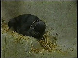 2001.08.26-005 petit chimpanzé