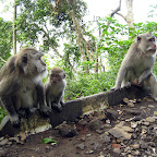 Monkeys (North Bali)