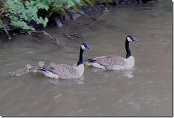 1 goslings