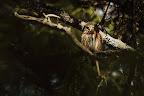 SOLEIL TAMISE   Chouette chevêchette au printemps