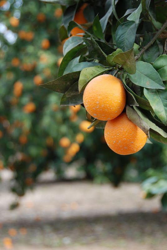 orange orchard, Israel