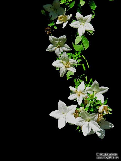 floarea alba de gradina