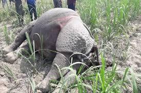 वाल्मीकि टाइगर रिजर्व में गैंडा की मौत, अधिकारियों को गन्ने के खेत से मिली लाश
