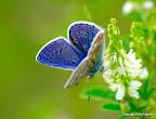 Almindelig blåfugl, han