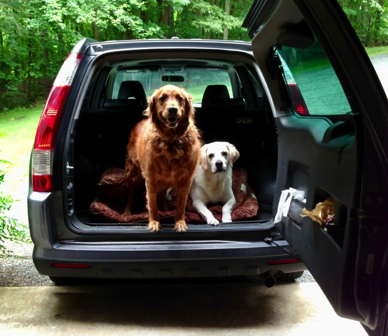 Two dogs looking out the open back door of an SUV, one standing, the other laying.