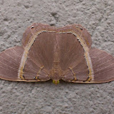 Geometridae : Ennominae : Phrygionis incolorata (PROUT, 1910). Environs de Curitiba (Paraná), 22 mai 2013. Photo : Mauricio Skrock