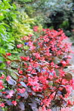Photo: 拍攝地點: 梅峰-溫帶花卉區 拍攝植物: 秋海棠 拍攝日期: 2014_07_27_FY