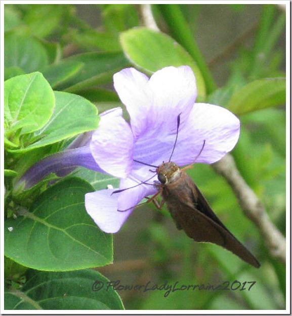 10-24-philippine-violet-skipper2