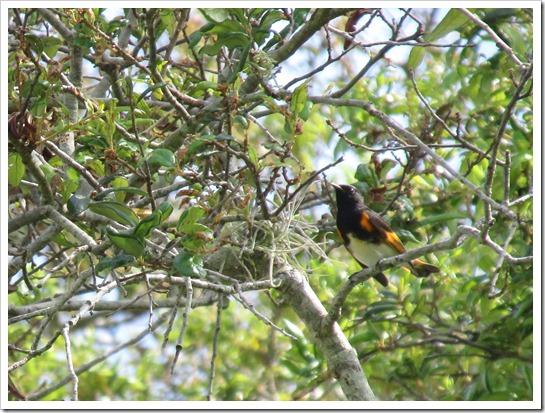 2017-05-05 Florida, Stuart - American Redstart Bird (11)