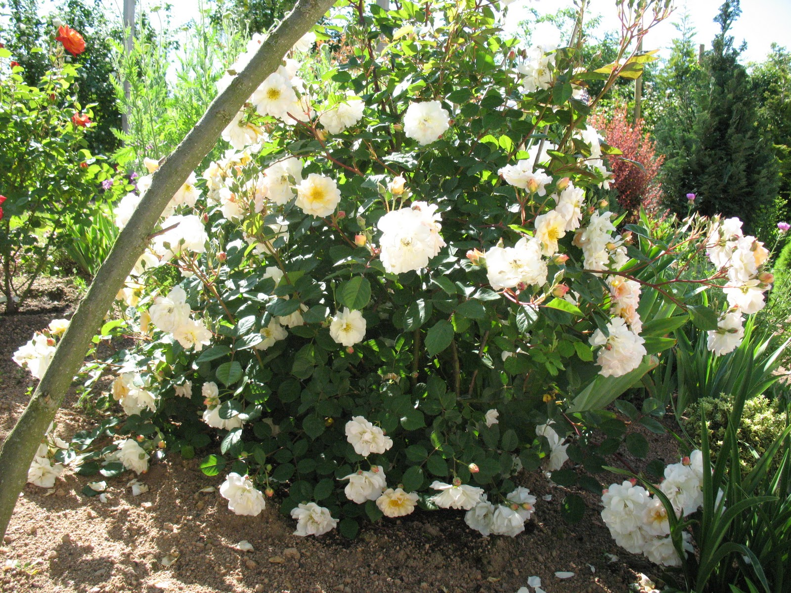 Roses du jardin ch neland rosier p n lope - Bouturer un rosier ancien ...