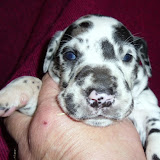 harl girl #1@ 3 weeks/available