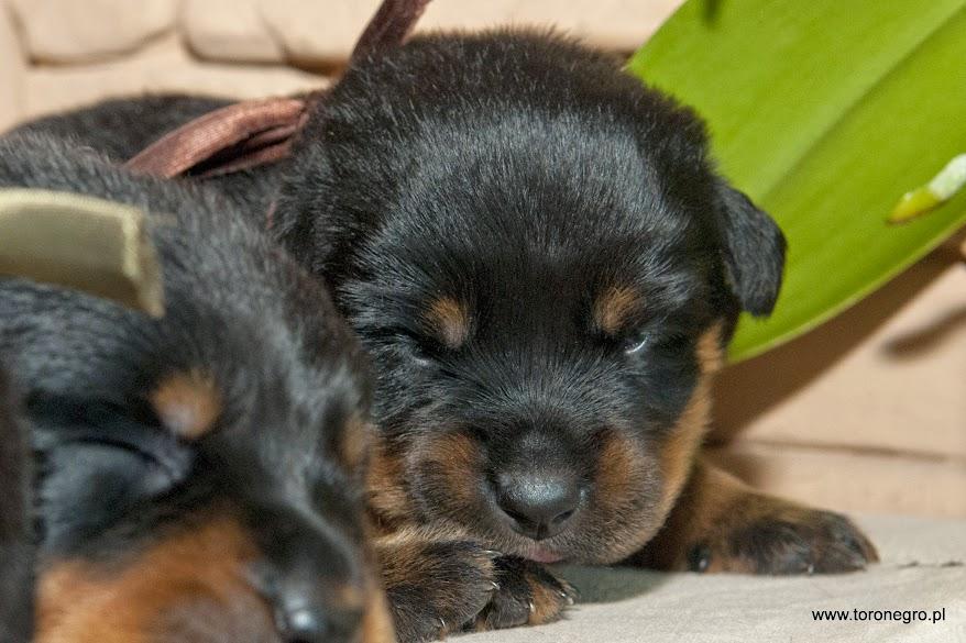 Nieśmiały szczeniaczek rottweilera