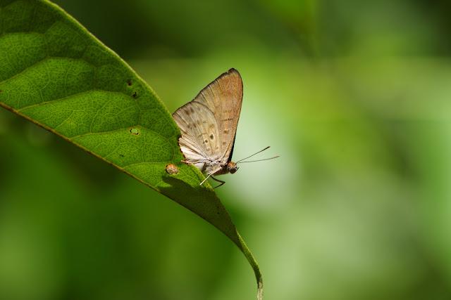 Riodinidae : Synargis orestessa HÜBNER, [1819], mâle. Patawa (Montagne de Kaw), 23 octobre 2012. Photo : J.-M. Gayman