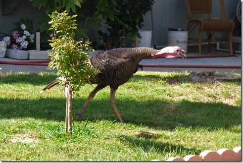 Wild Turkey running around the neighborhood